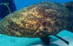 Should the Goliath Grouper be Protected?
